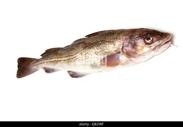 Atlantic cod gadus morhua stock photos atlantic cod for Atlantic cod fish