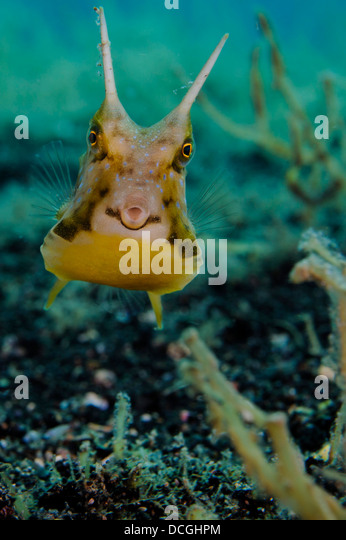 longhorn cowfish lactoria cornuta lembeh strait indonesia stock image