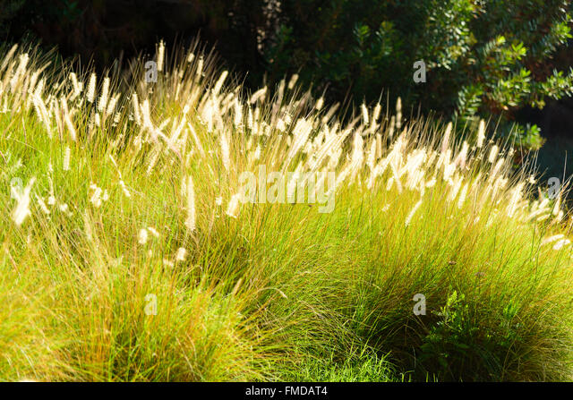 Fantasize stock photos fantasize stock images alamy for Ornamental grasses that bloom