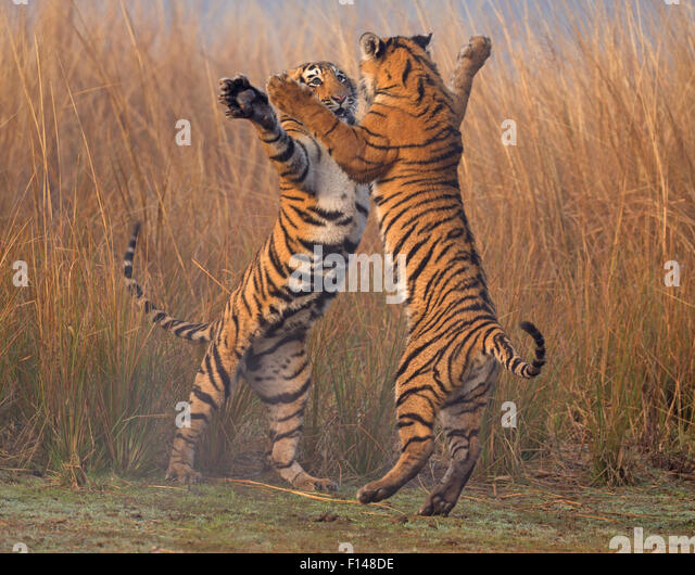 Play Fighting Stock Photos & Play Fighting Stock Images ...