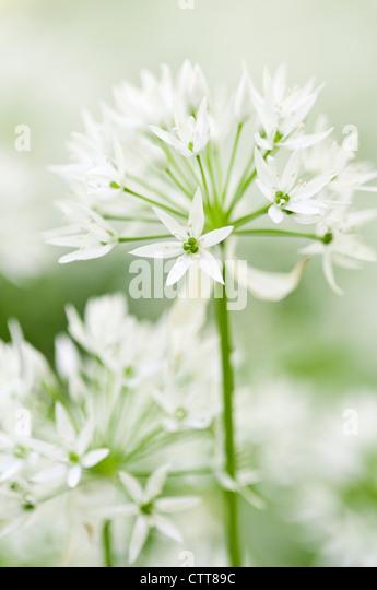 how to grow wild garlic