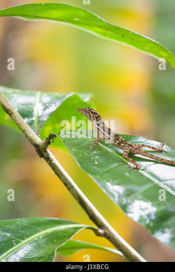 A Golfo-Dulce anole (Anolis polylepis) perched on a leaf. - Stock Image