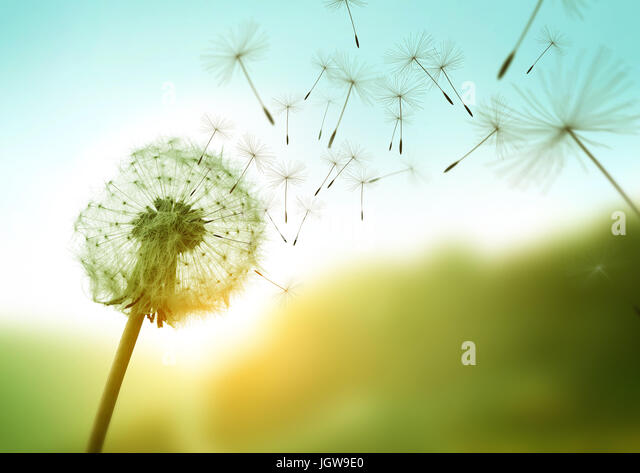 Dandelion seeds blowing in the wind across a summer field background, conceptual image meaning change, growth, movement - Stock Image