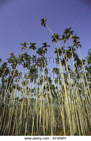 asian palm nut
