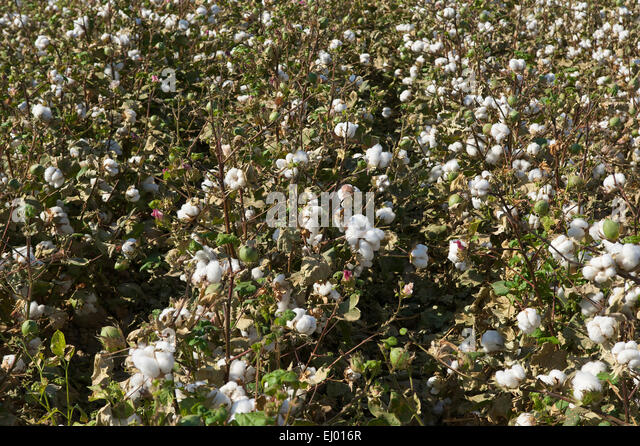 cotton plant single guys Introduction is a vegetable fibre obtained from the mature capsule of the cotton plant, a shrub about 40 cm high, with leaves and flowers of a red or yellow colour.
