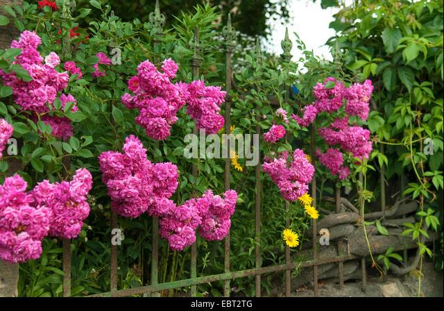 rosa super exelsca pendula