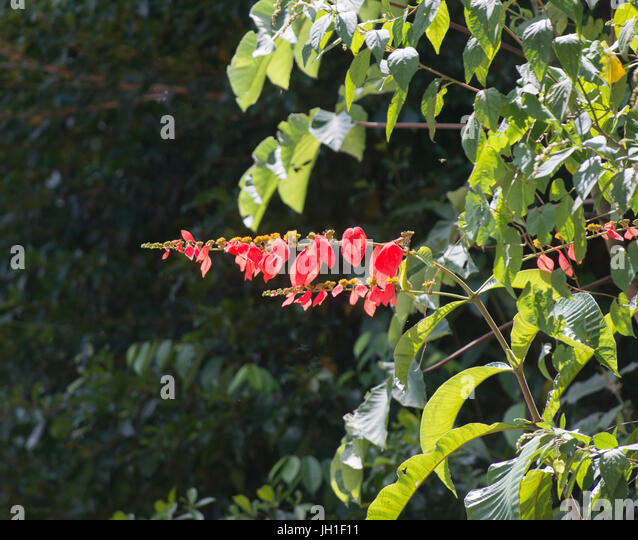 Chaconia Pride Of Trinidad Tobago Or Wild Poinsettia Warszewiczia Coccinea
