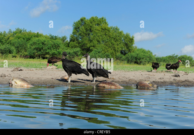 Dead animals drought stock photos dead animals drought for Lake corpus christi fishing