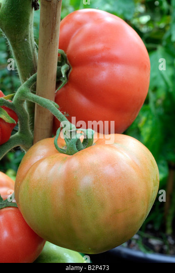 tomato buddhist personals The la tomatina festival of bollywood fame is now here in bangalore to know more about this spanish tomato festival in india for the singles have tickets.