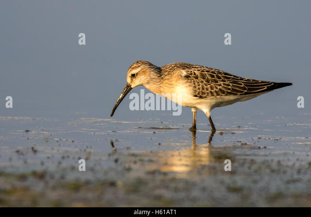 singles in curlew The eastern curlew is pale brown above and below with finely  develop and implement an international single species action plan for eastern curlew with all.