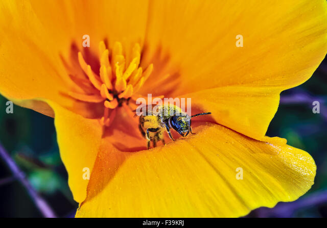 Poppy day stock photos poppy day stock images alamy bee pollinating a mexican poppy arizona usa stock image publicscrutiny Image collections