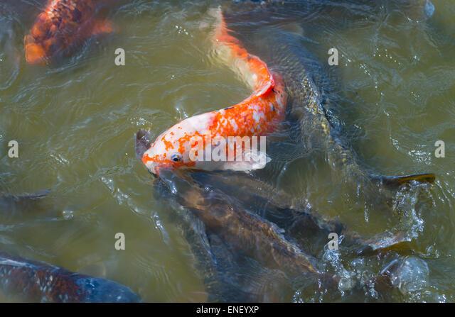 Koi fish feed stock photos koi fish feed stock images for Koi feeding