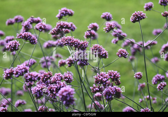 small purple flowers stock photos  small purple flowers stock, Beautiful flower