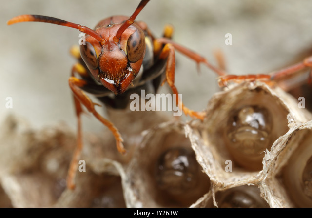 how to find a red wasp nest