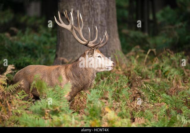 Landscaping Ties Red Deer : Cervus stockfotos und stockbilder seite alamy