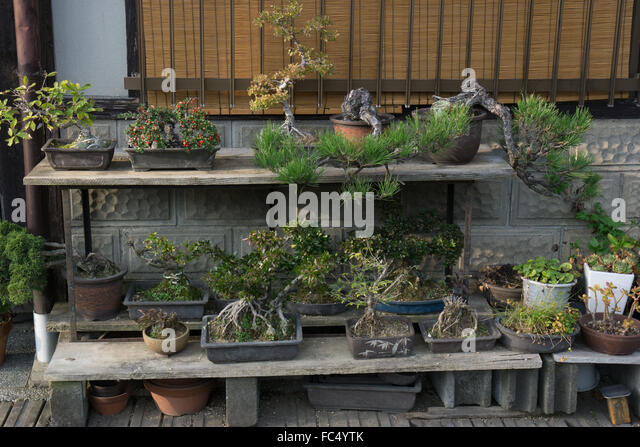 outdoor bonsai plant display in Takayama Japan  Stock Image