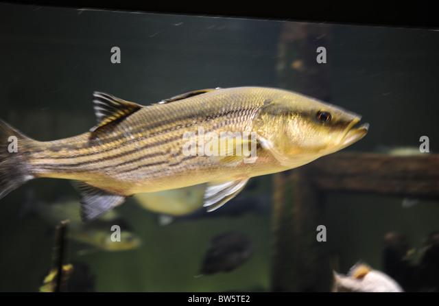South carolina fish stock photos south carolina fish for South carolina freshwater fish