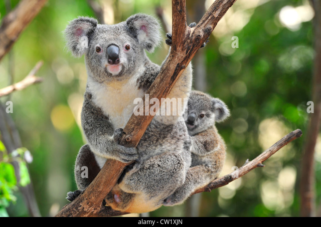 Koala Bear And Baby Stock Photos & Koala Bear And Baby ...