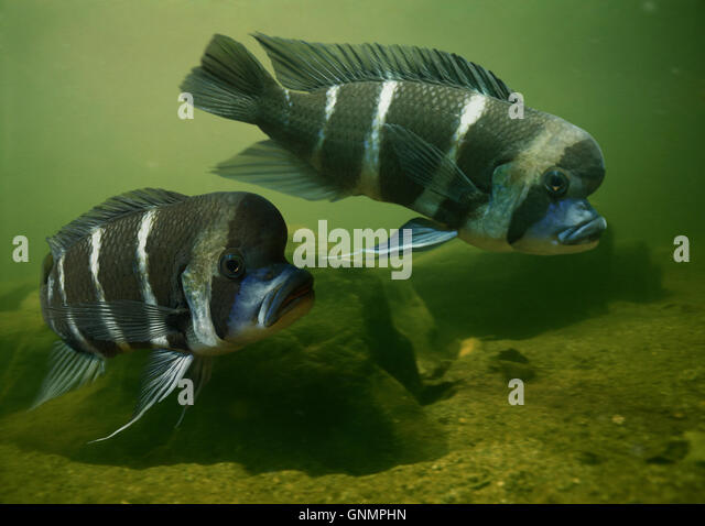 humphead cichlid cyphotilapia frontosa stock image