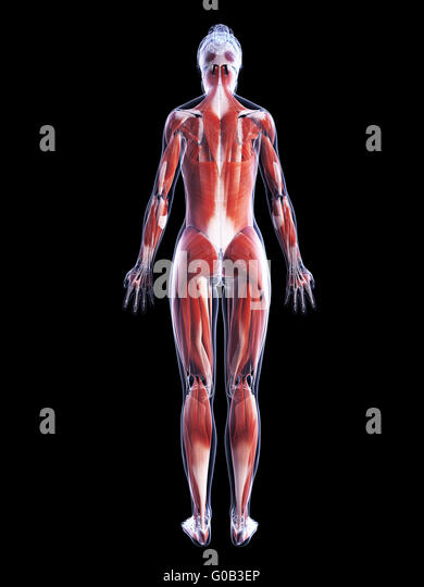 3d rendered illustration female muscle stock photos & 3d rendered, Muscles