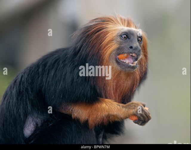 a brief look at the golden marmosets or leontophithecus chrysomelas Environmental enrichment in captive marmosets and we should look to the data for the on the activity budgets of golden lion tamarins (leontopithecus.