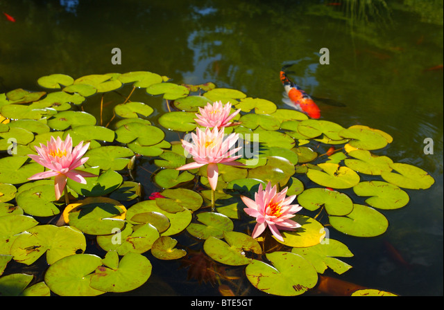 how to grow water lilies in fish pond