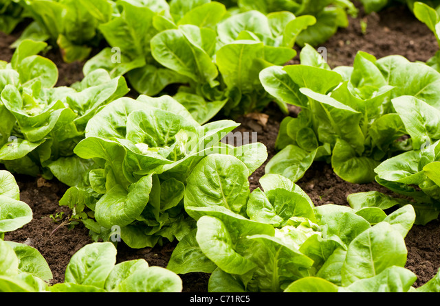 how to grow little gem lettuce