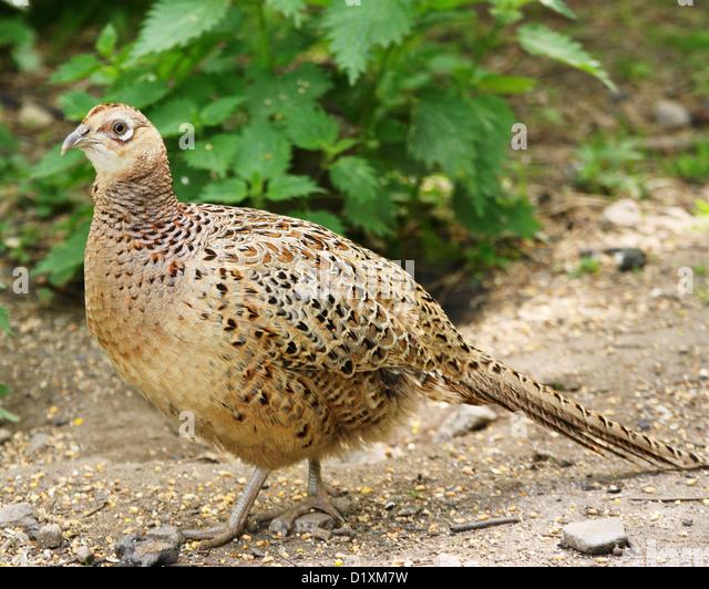 hen-pheasant-phasianus-colchicus-d1xm7w.