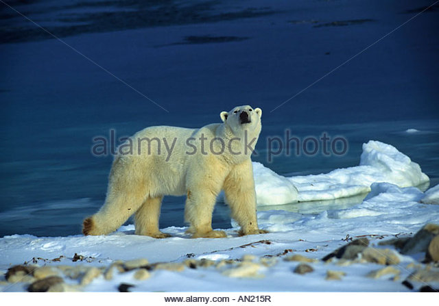 the polar bear thalarctos maritimus Learn more about the polar bear - with amazing polar bear videos, photos and facts on arkive.