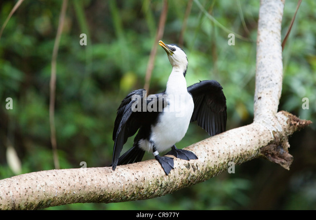 little pied cormorant phalacrocorax melanoleucos melanoleucos atherton tablelands queensland australia
