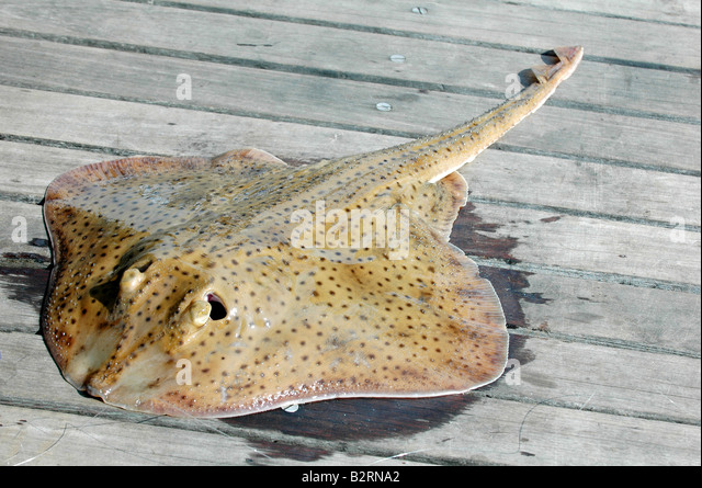 Related Keywords Amp Suggestions For Skate Fish