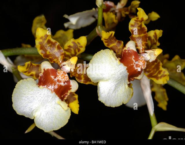 Oncidium Moon Shadow Tiger Tail Orchids