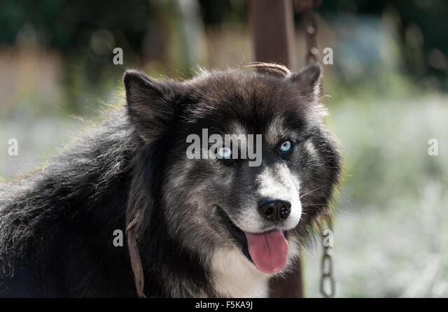 Siberian Husky Quebec Dog Sled Canada...