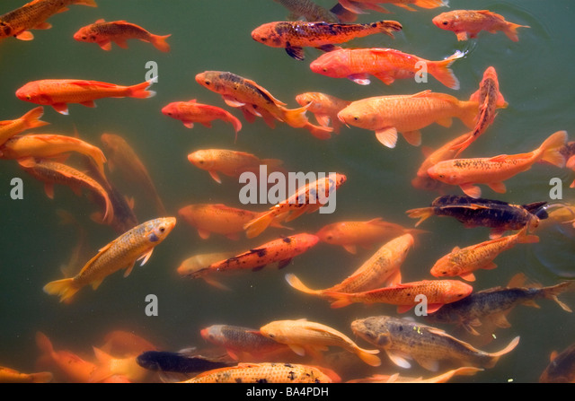 Koi stock photos koi stock images alamy for Ornamental pond fish uk