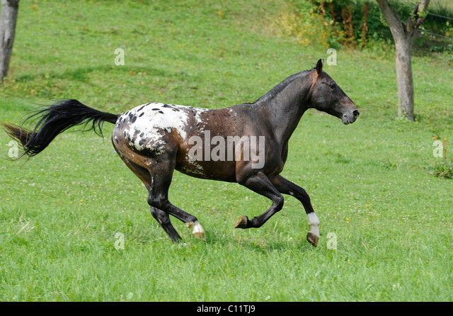 Speckled horse in farm. Appaloosa Horse Stock Photo, Royalty Free ...