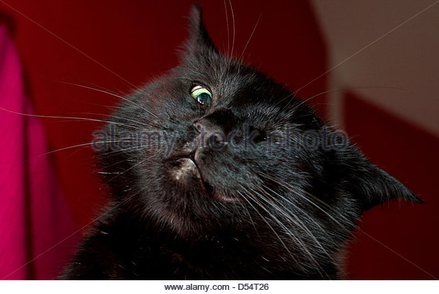 annoyed cat stock photos annoyed cat stock images alamy. Black Bedroom Furniture Sets. Home Design Ideas