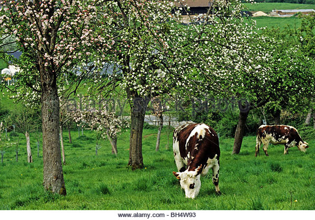 apple trees essay Home column seasons with the apple trees awakening to the wonder seasons with the apple trees awakening to the wonder posted by kate watters on nov 10, 2016 i fell deeply in love with the 130-plus varieties of apple trees at the farm and garden orin martin.