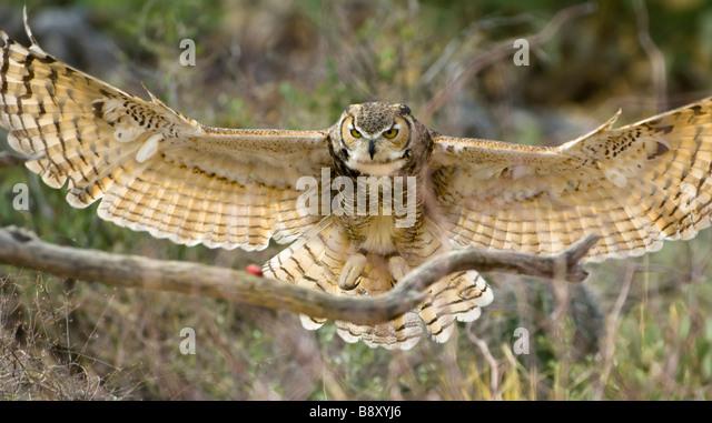 owl flight wings spread stock photos & owl flight wings spread