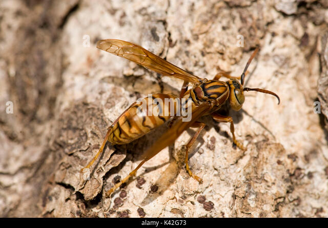 Order of paper wasp