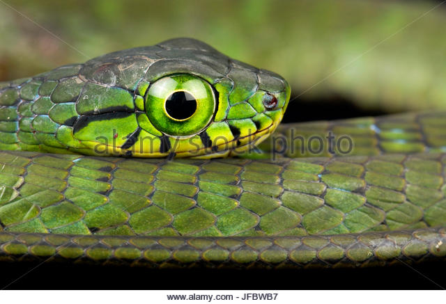 A Large-eyed Green Tree Snake, Rhamnophis aethiopissa. - Stock Image