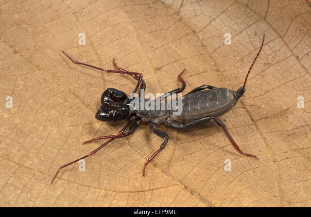 Image Gallery Whiptail Scorpion
