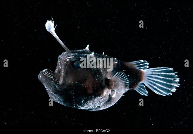 humpback anglerfish size
