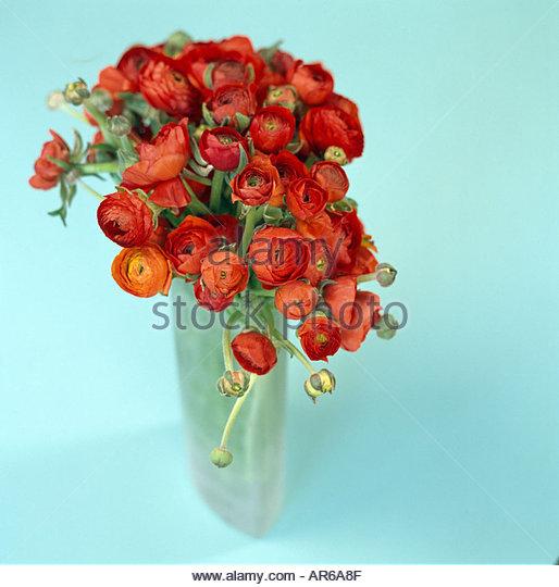 blue ranunculus red ranunculus flowers stock photos red ranunculus flowers stock