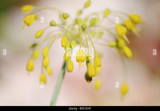 Allium Flower Bulb Sto...