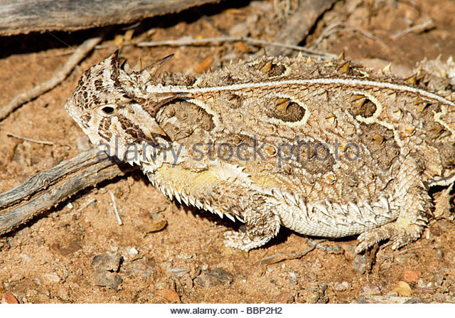 asian horned toad