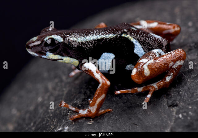 Strawberry dart frog, Oophaga pumilio 'Bocas del Toro' - Stock Image