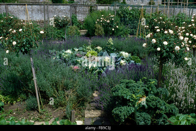 white standard rose trees and lavender borders in a potager garden with cabbages in a triangular