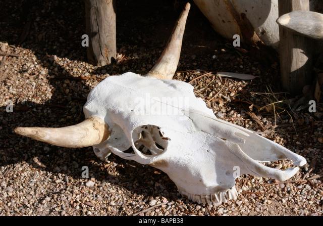 cow skull and desert - photo #18