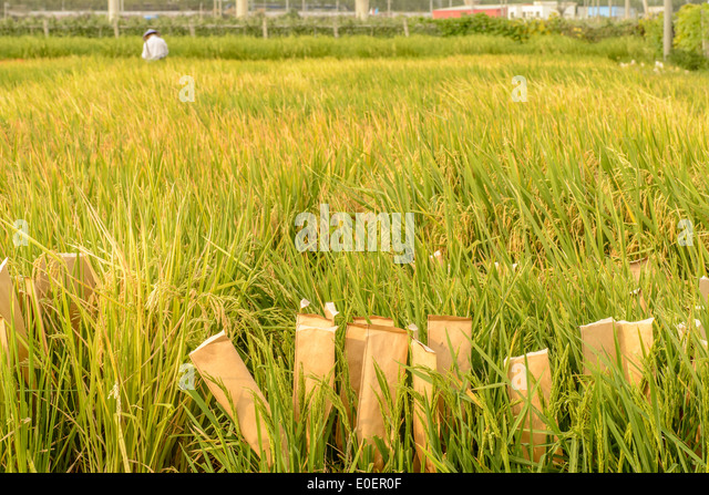 "research paper on brown rice The brown planthopper a review paper, so the information on ""research findings on biological control of gazipur, bangladesh rice research."