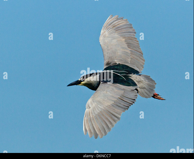 Night heron in flight - photo#45